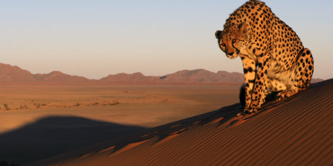 Gepard in Namibia